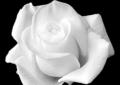 rebotini flowers